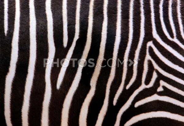 Add a zing to your home with Zebra Print Rugs