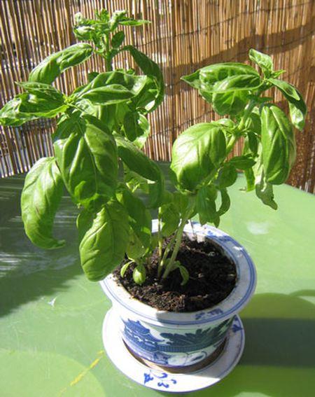 Herbal plant 1