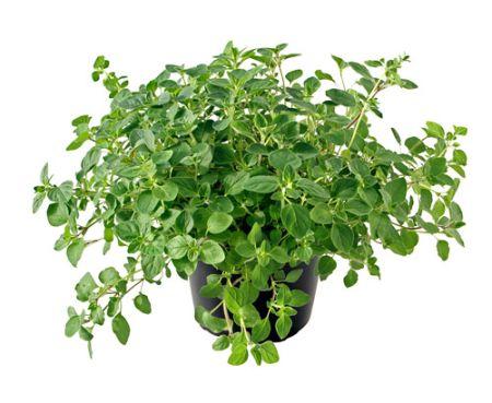 Herbal plant 5