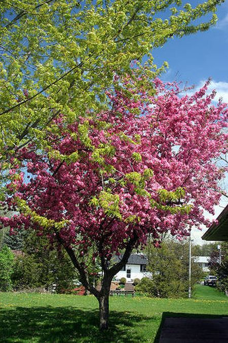 Top trees for small gardens hometone for Short trees