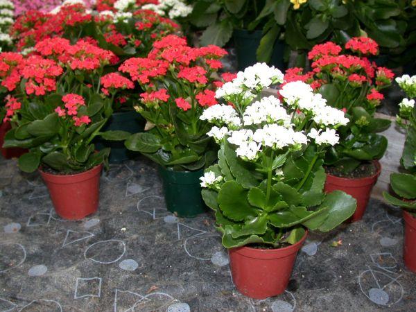 Best indoor flowering plants hometone for Small indoor flowering plants