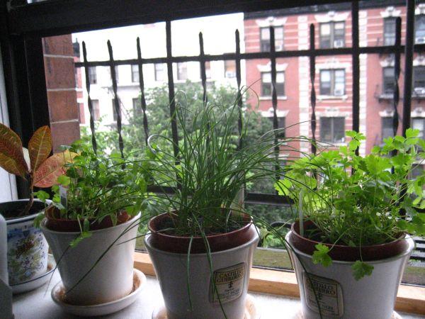 Выращивание кинзы на балконе 88
