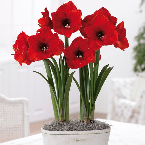 Red flowers to amp up romance in your decor hometone for Amarilis decoration