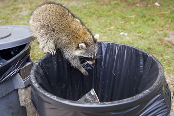 A raccoon gets garbage to eat out of a trash can at Bill Baggs state park in Florida.