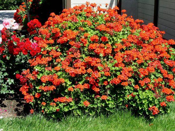 Perennial geranium f