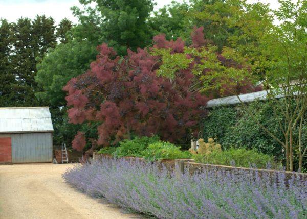 Velvet Smoke Cloak Tree