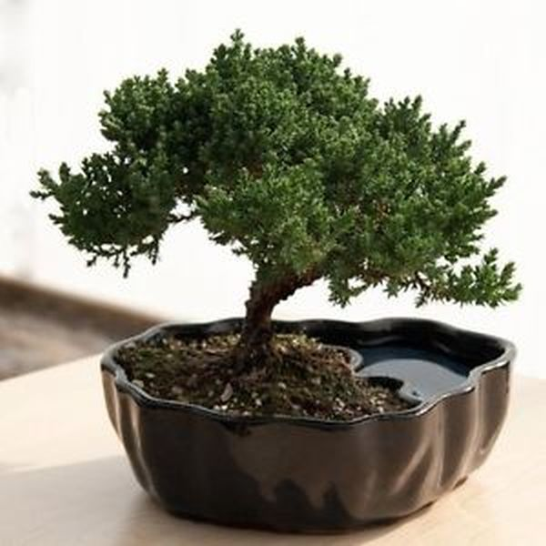 dwarf Bonsai plants