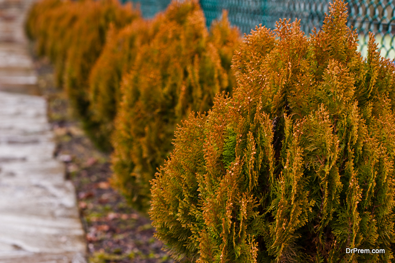 Growing a Leyland Cypress
