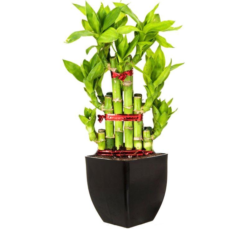 Bamboo-plants