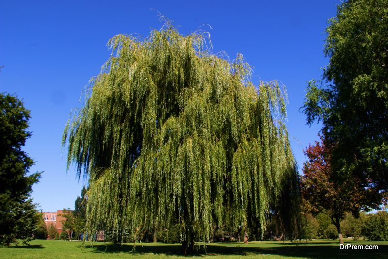 a Weeping Willow tree