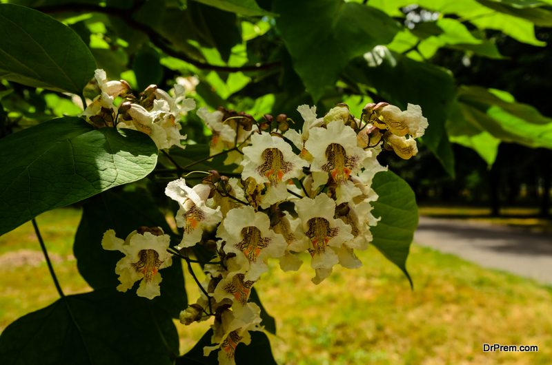 northern-catalpa