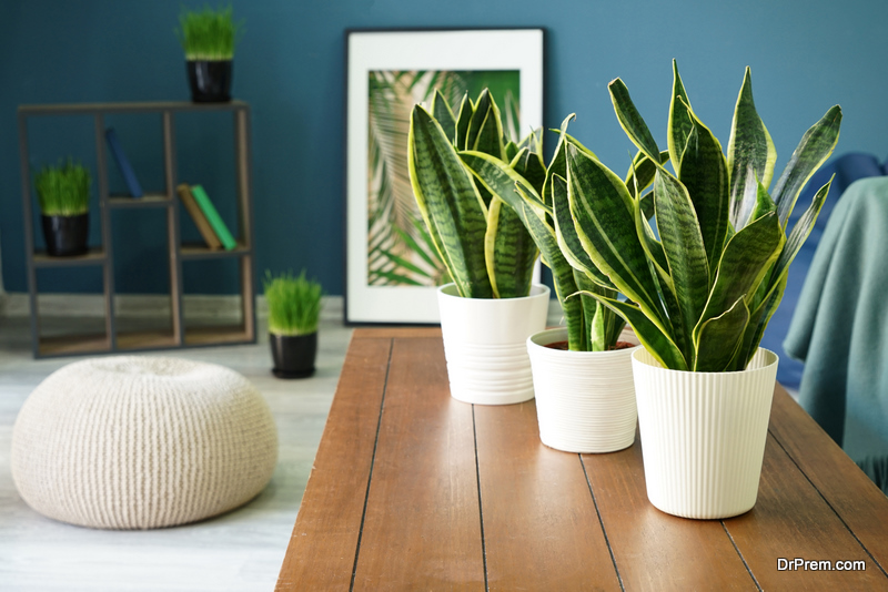 The-Snake-Plant