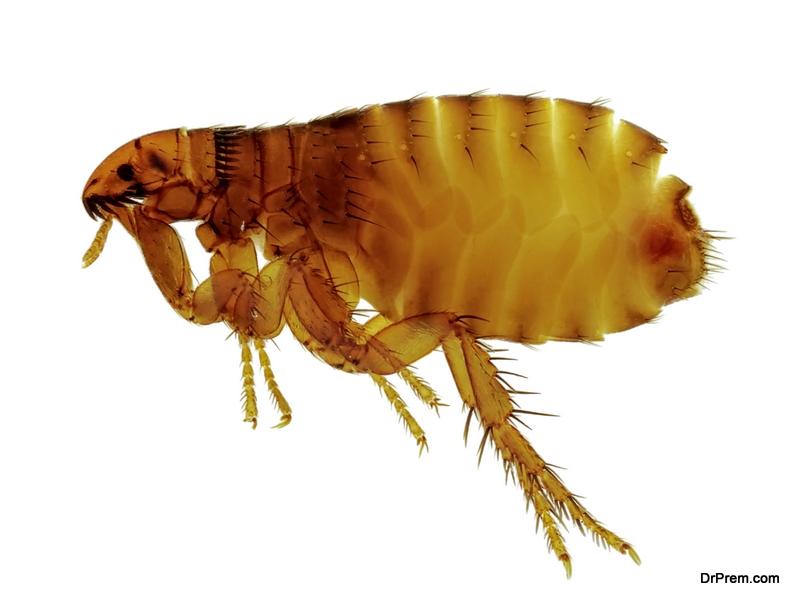 Getting Rid of Fleas