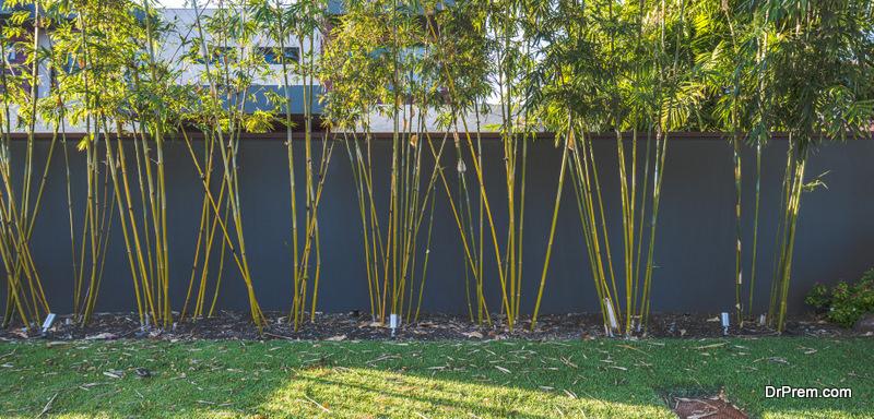 grow tall and large bamboos